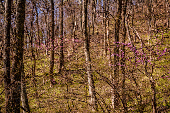 Redbuds - The Breath of Spring